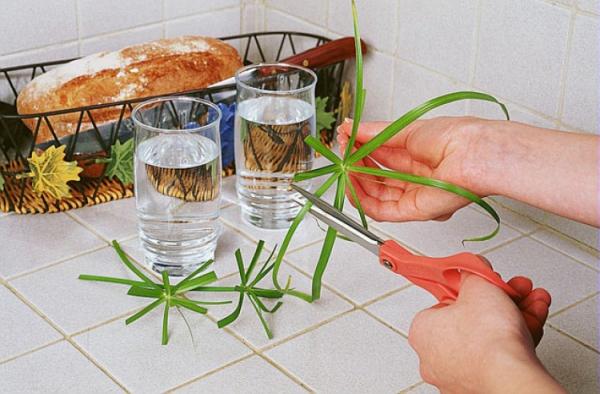 plante papyrus couper les tiges
