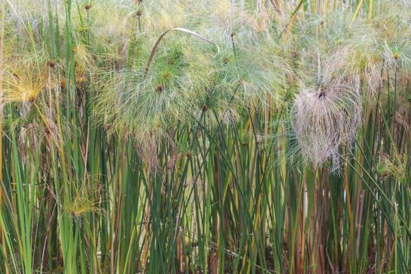 plante papyrus des plantes âgées