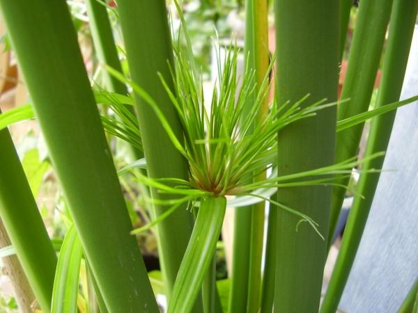 plante papyrus des tiges épaisses