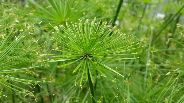 plante papyrus encore des fleurs