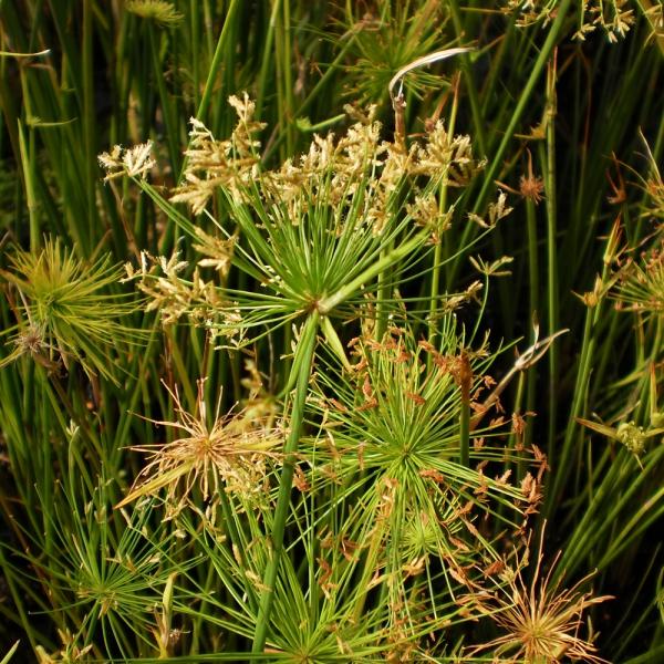 plante papyrus fleurs épanouies