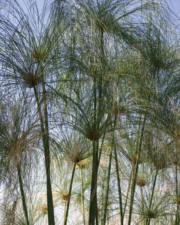 plante papyrus hauteur de 3 mètres