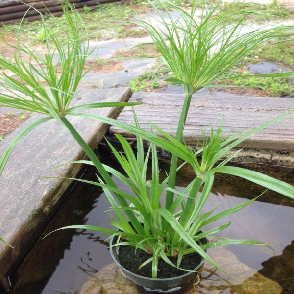 plante papyrus pot dans l'eau