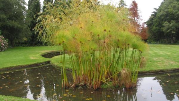 plante papyrus une île de plante papyrus