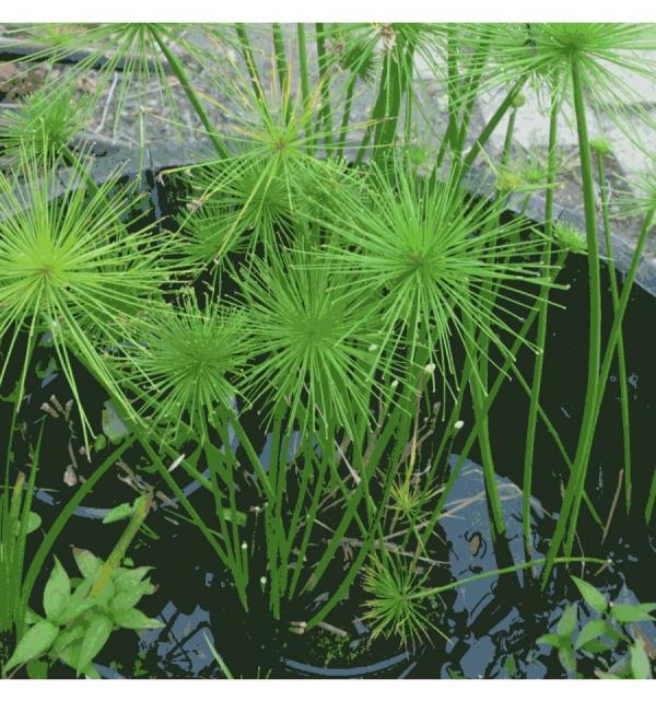 plante papyrus une ambiance aquatique