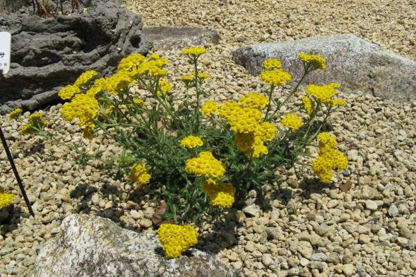 plante rocaille achilea tomentosa
