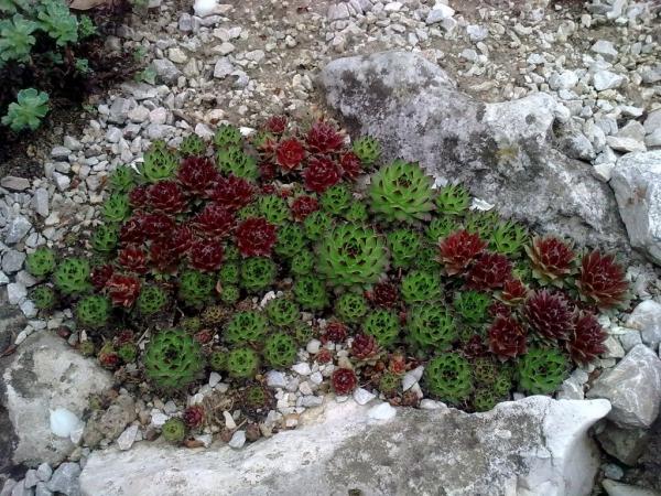 plante rocaille des vivaces