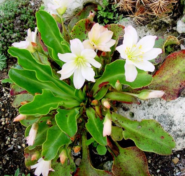 plante rocaille fleur blanche splendide