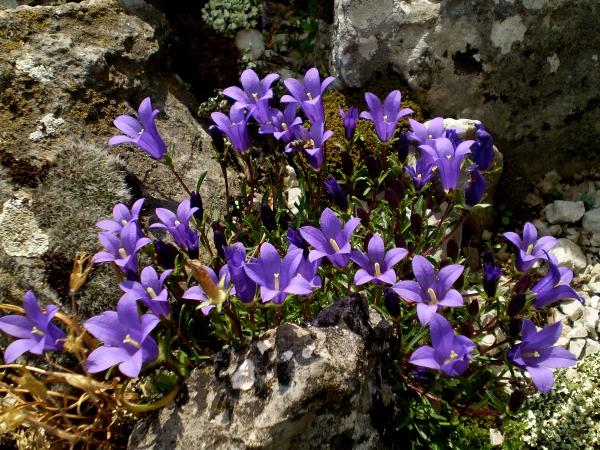 plante rocaille petites clochettes bleues