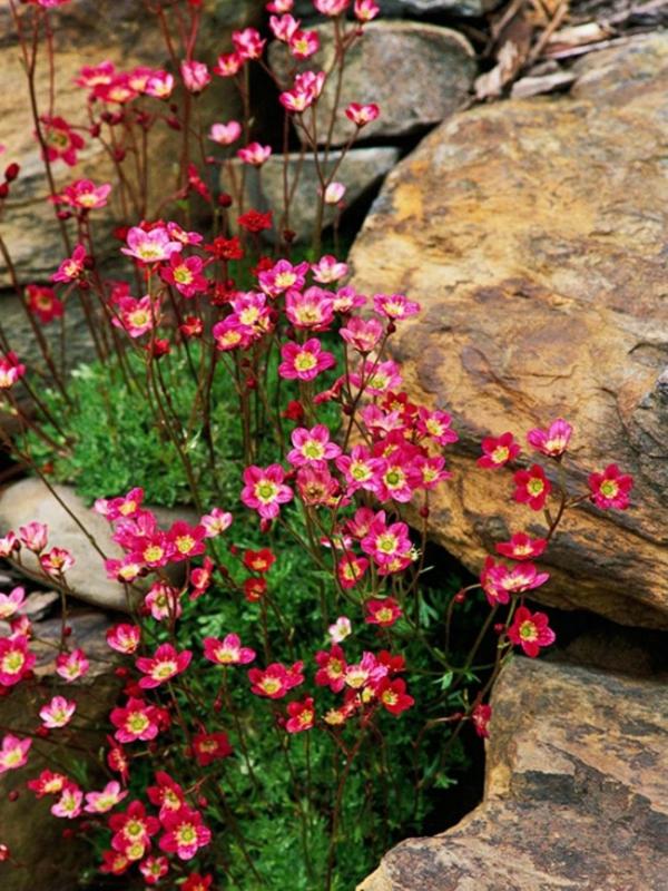 plante rocaille saxifraga entre les rochers