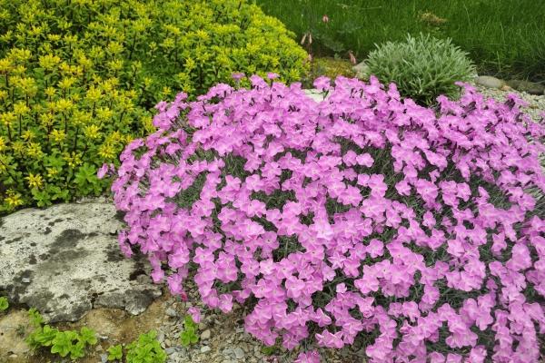 plante rocaille une couleur rose intense