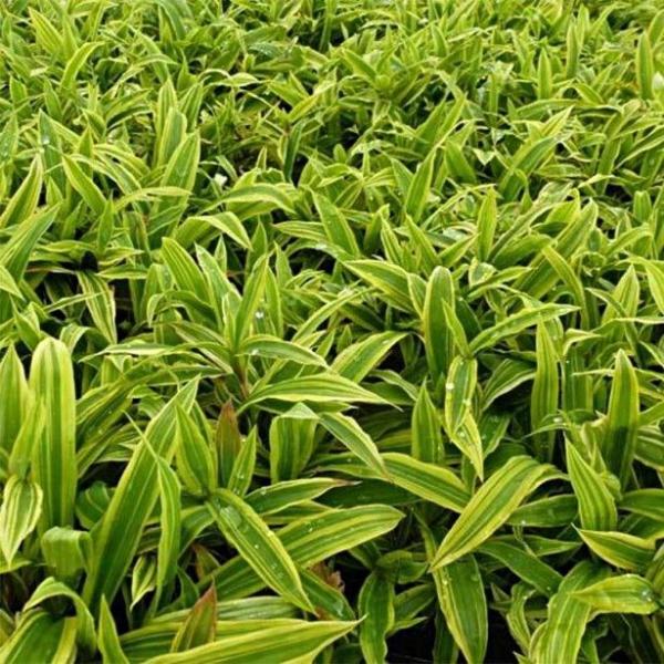 plante vivace aux feuilles vertes à rayures