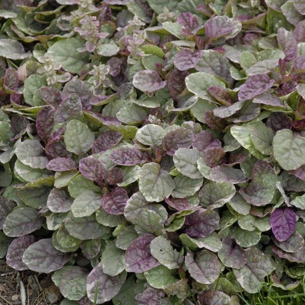 plante vivace aux feuilles vertes ajuga reptans Burgundy Glow
