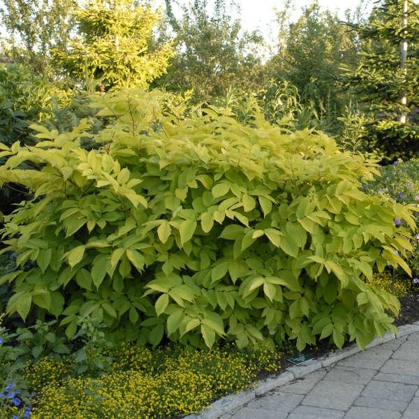 plante vivace aux feuilles vertes aralia cordata Roi Soleil