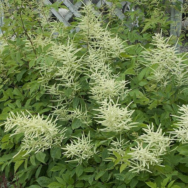 plante vivace aux feuilles vertes aruncus dioicus