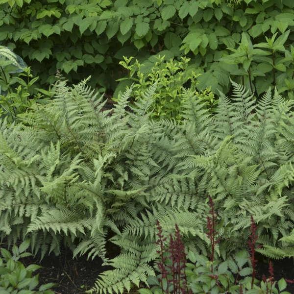 plante vivace aux feuilles vertes athyrium Ghost