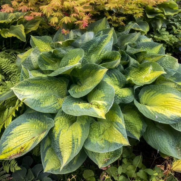 plante vivace aux feuilles vertes comme oreille d'éléphant
