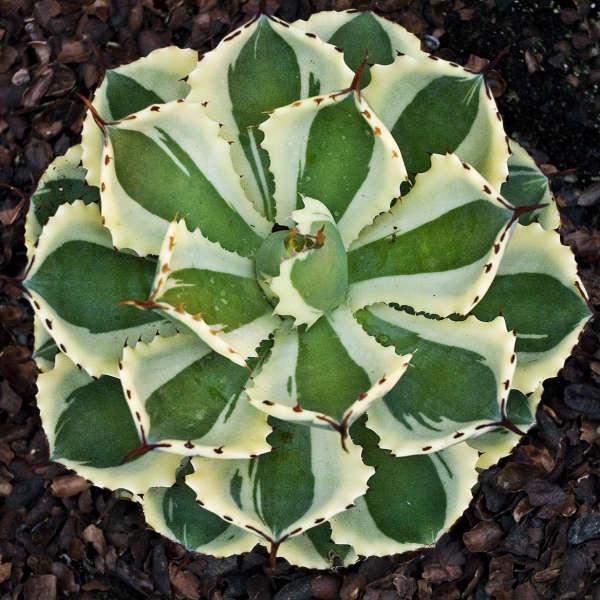 plante vivace aux feuilles vertes desert diamond agave