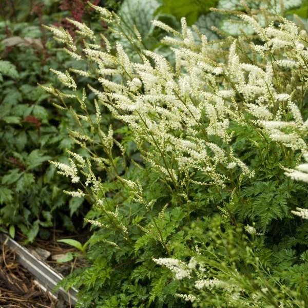 plante vivace aux feuilles vertes forme rare aruncus aethusifolius