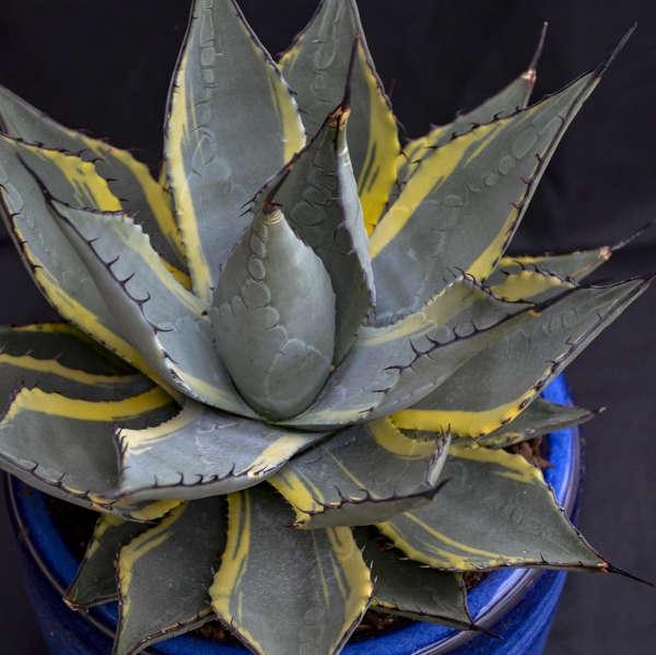 plante vivace aux feuilles vertes neomexicana tache solaire