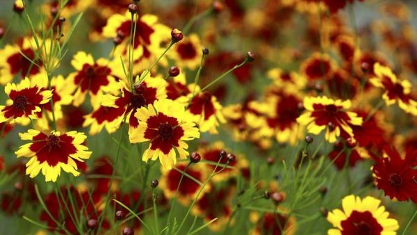 plante vivace deux couleurs