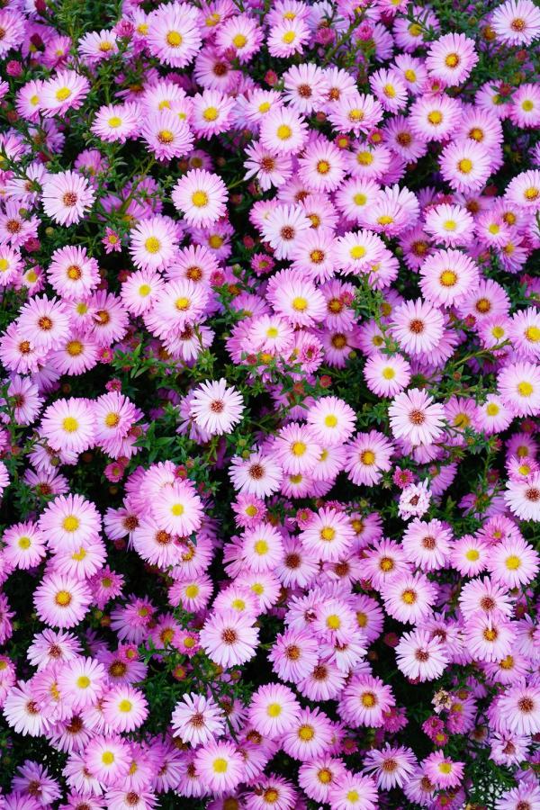 plante vivace fleurit en été