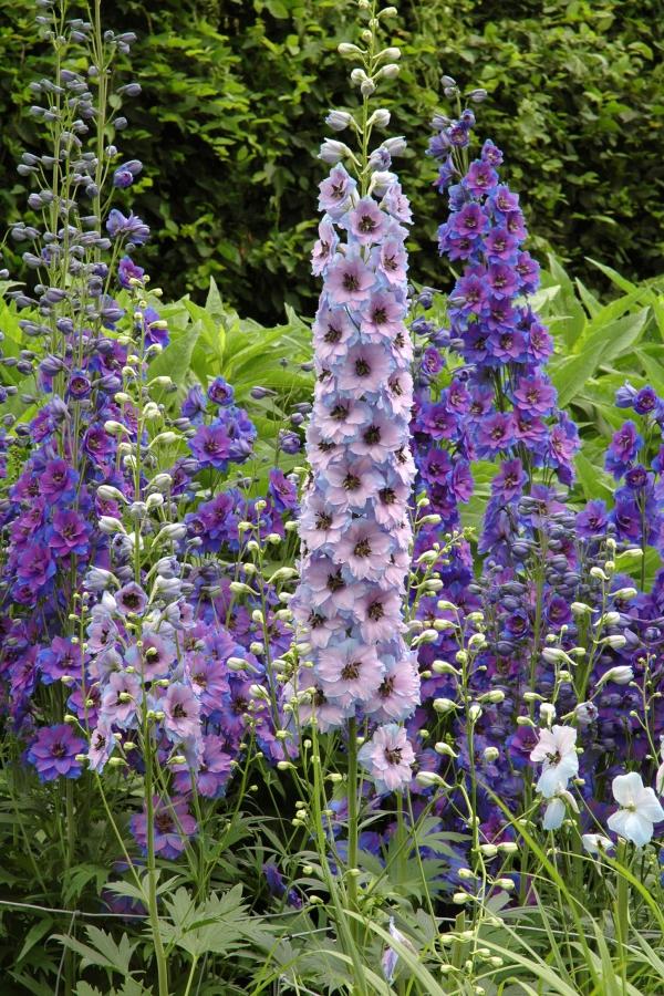plante vivace fleurs bleues et violettes