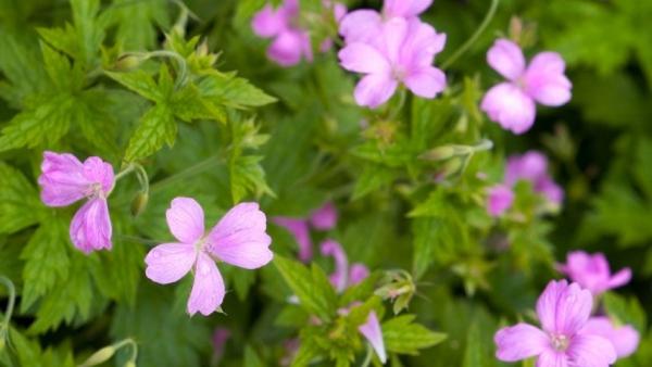 plante vivace fleurs magenta