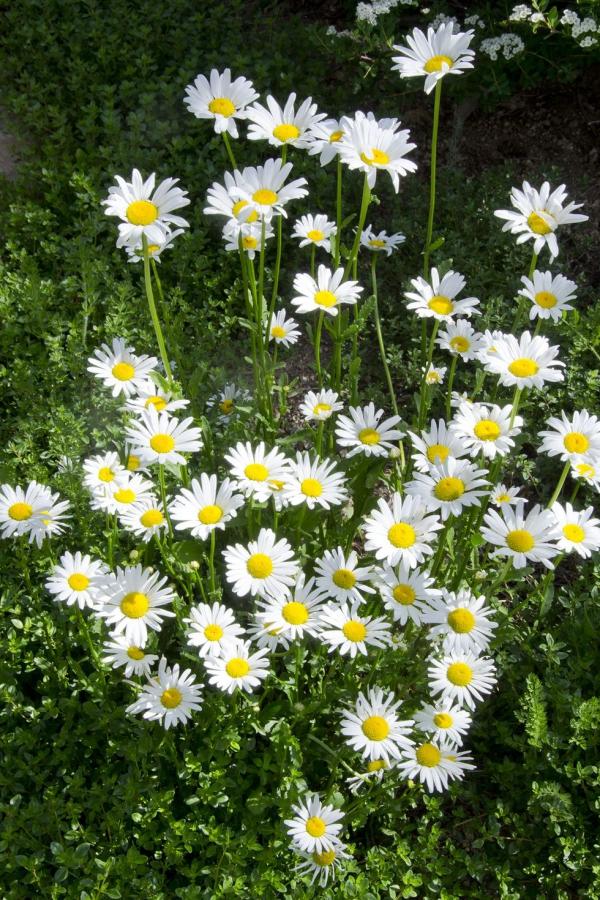 plante vivace fleurs mignonnes