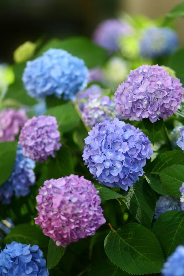 plante vivace hortensia colorée