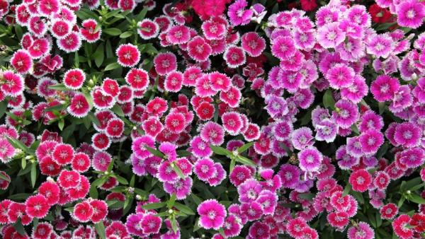plante vivace parfum délicieux