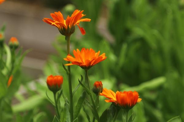 plantes aromatiques calendula