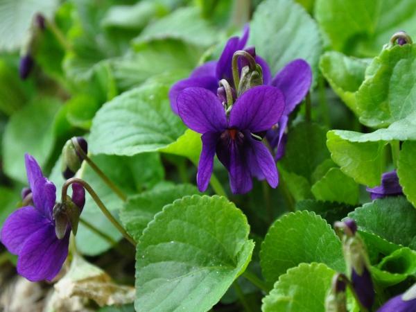 plantes aromatiques couleur lilas