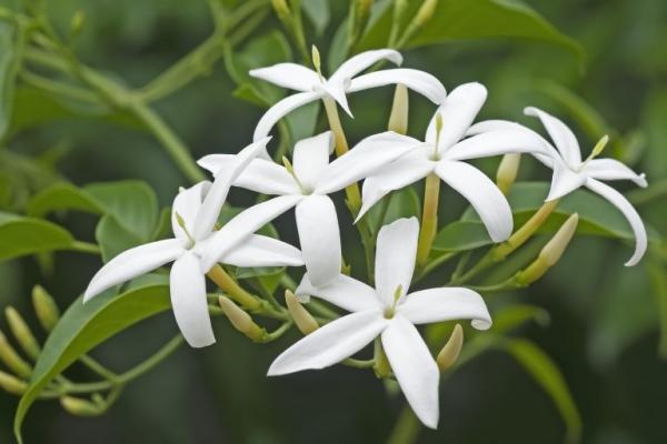 plantes aromatiques des brins de jasmin