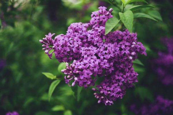 plantes aromatiques du lilas