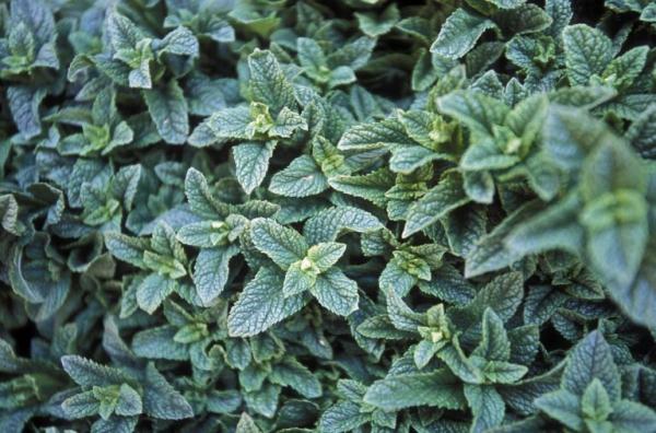 plantes aromatiques feuilles de menthe