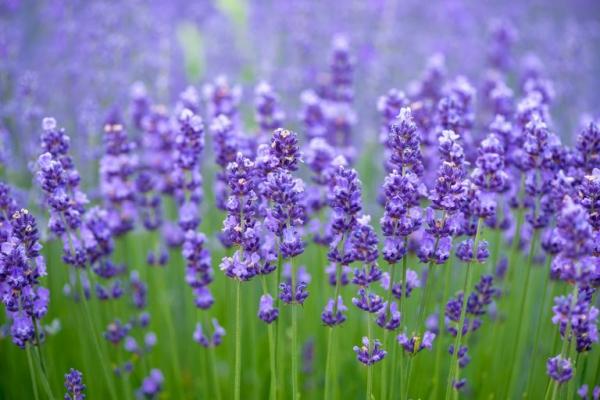 plantes aromatiques herbe sacrée