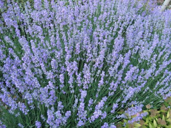 plantes aromatiques la belle lavande