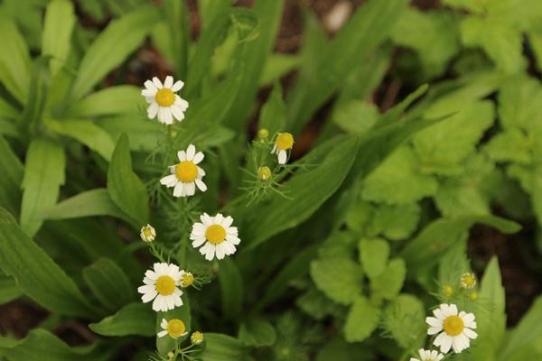 plantes aromatiques la chamomille