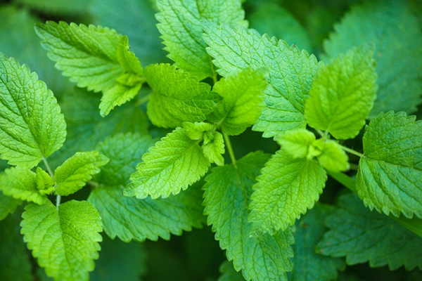 plantes aromatiques la mélisse