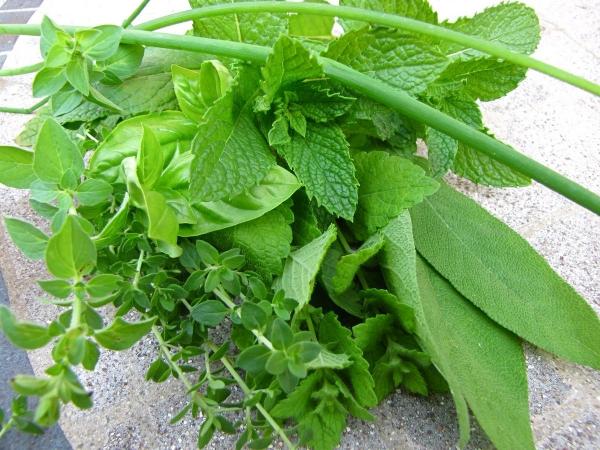 plantes aromatiques menthe et basilic