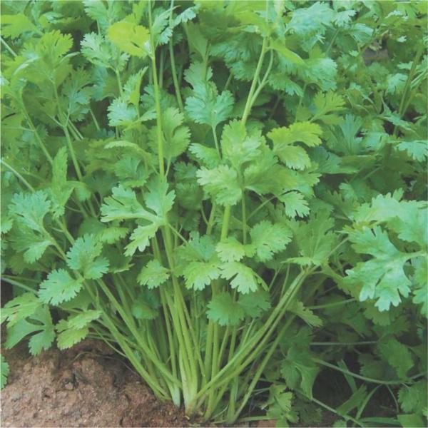 épices bonne humeur feuilles de coriandre