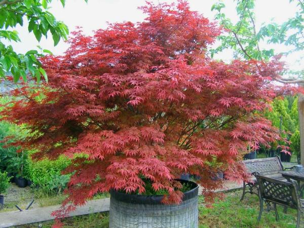 érable du japon nain Acer palmatum Atropurpureum
