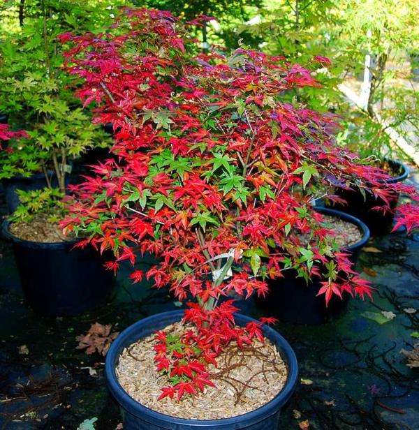 érable du japon nain Acer palmatum shin-deshojo