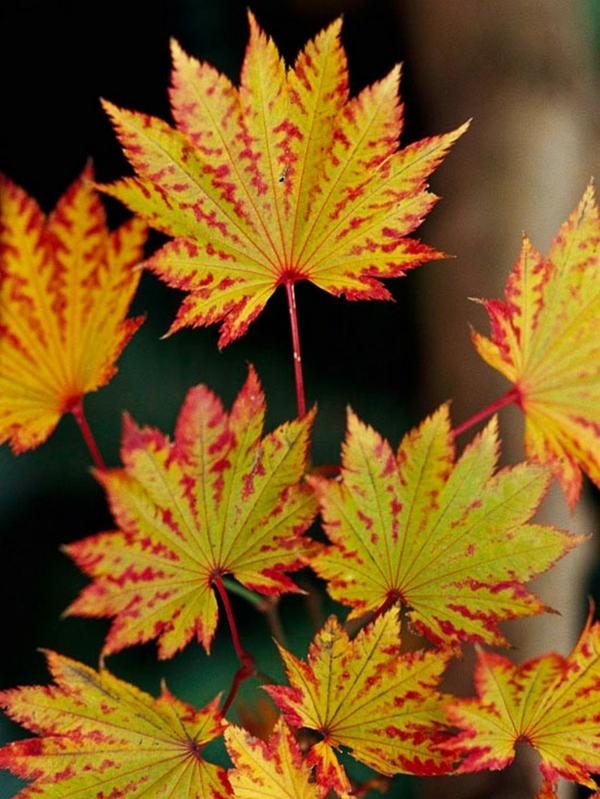 érable du japon nain Full Moon automne