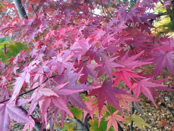 érable du japon nain acer palmatum feuilles roses