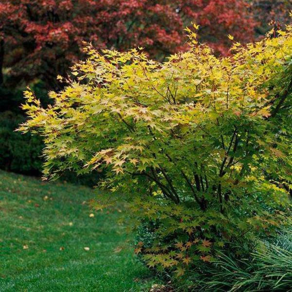 érable du japon nain beni kawa feuilles jaunes vertes