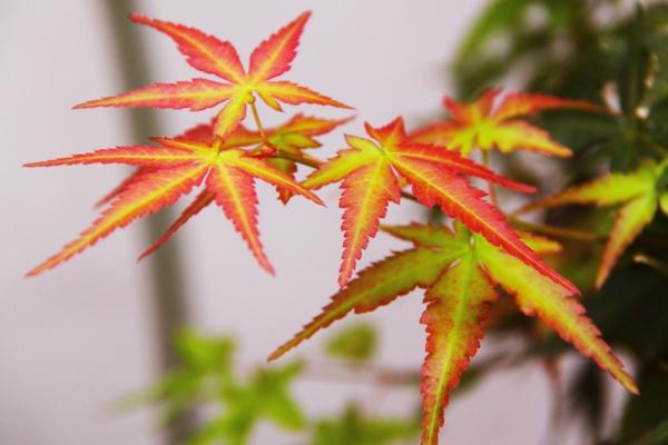 érable du japon nain feuilles