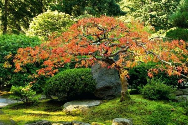 arbre érable du japon nain jardin