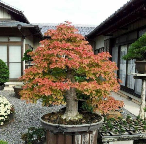 bonzaï extérieur érable du japon nain